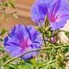 一日一撮 vol.378 お散歩:青い花々