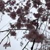 枝垂れ桜の並木道を歩いて
