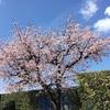5-2   ソメイヨシノ、咲きました!?