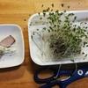 初収穫のブロッコリースプラウト!、根は食えるの?