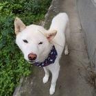 7/10、柴犬【ばん太】に初めてシャンプーを受けさせた。『できない場合もありますよ?』と言われたが、猫シャンプーまでやってくれる親切な店ゆえOKでした。