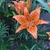百合、橙の星型花(大島に咲く花ーヒメユリ・ヘメロカリスー)