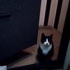 白黒猫「ちびゴン」の真剣なまなざし