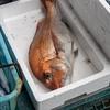 2021年5月22日 小浜漁港 お魚情報