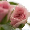 バラのつぼみは、ゆっくりゆっくり