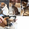 <Thanks! 2012.02>No.111019B-SBM267(柴犬 3ヶ月 3kg ♂)
