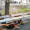 桜見ながら散歩