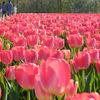 4月25日(土)に、長池憩いの森公園(胎内市築地)で開催される「胎内市チューリップフェスティバル2015」にお邪魔してきました。