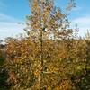 収穫後のりんご樹