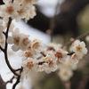 梅は咲いたか。