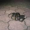 【宮古島の動物】沖縄県指定の天然記念物「ヤシガニ」