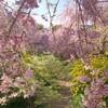 京都の楽園  原谷苑