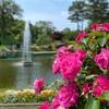 バラの見ごろ 初夏の氷見あいやまガーデン