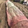 落ち葉堆肥を使用して栽培を始めたタマネギの様子