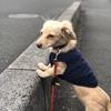 犬の幼稚園通学4日目・最近少しづつ散歩で歩けるようになってきたけど今日はどう?