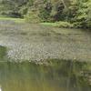 オオカナダモ 池いっぱいに広がる