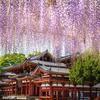 藤の花を平等院鳳凰堂で撮れ!4月20日