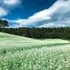 【長野県大町市】中山高原、蕎麦の花が満開!2018