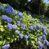 【鎌倉いいね】鎌倉明月院、長谷寺のあじさいが見頃です(6月11日)