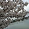 春は、桜と梨汁ブシャー祭