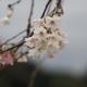 金沢城公園「十月桜」(速報)
