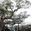 江ノ電 タブノキ