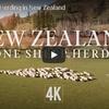 ニュージーランドの高原地帯にたわむれる羊の群れが美しい