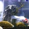 金魚飼育の輪