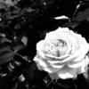 花の女王「薔薇」を撮影しに『よしうみバラ公園』へ②