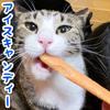 夏バテ気味の猫7匹にアイスキャンディーをあげてみた!【作り方】