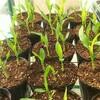 枝豆の育苗を開始する