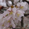 桜が見ごろに
