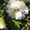 11月の花はサザンカ