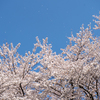 2019年 桜開花予想 出ました