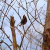 枝から降りて採食するミヤマホオジロ♂♀