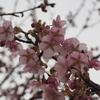 今年の初撮り「河津桜」