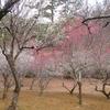 宝ヶ池公園の梅を鑑賞。