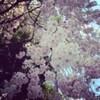 桜並木を通って「長屋の花見」