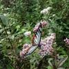 蝶の観察記録とおすすめの書籍