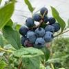 2021関東のブルーベリー狩りなら千葉県市川市新七農園がおすすめ!ブラックベリーもあるよ!
