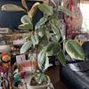 観葉植物 ゴムの木(斑入り)