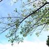 秋 葉が落ちゆく桜の樹 その下で次々に咲きにいく芙蓉たち