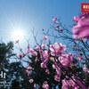 【秩父】大持山、秩父のアカヤシオとカタクリの山、花と清流を射止める武甲山の旅