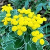 イソギクの黄色い花
