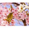 【梅,河津桜,そしてメジロ】梅に加えて河津桜が咲き進み,ウメジローはサクラジローに進化した!