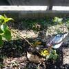 矮性サルスベリの芽吹き