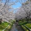 【広島オススメお花見スポット】広島市中央公園 ~今が満開桜めぐり②~