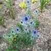 エリンジウム・ザベリーの2大巨頭、開花コラボ。