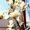 ★こぶしの花