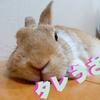 【ミニウサギのサスケ先輩】うさぎ初心者の心配事?うさぎは一人暮らしでも飼育できるのか?